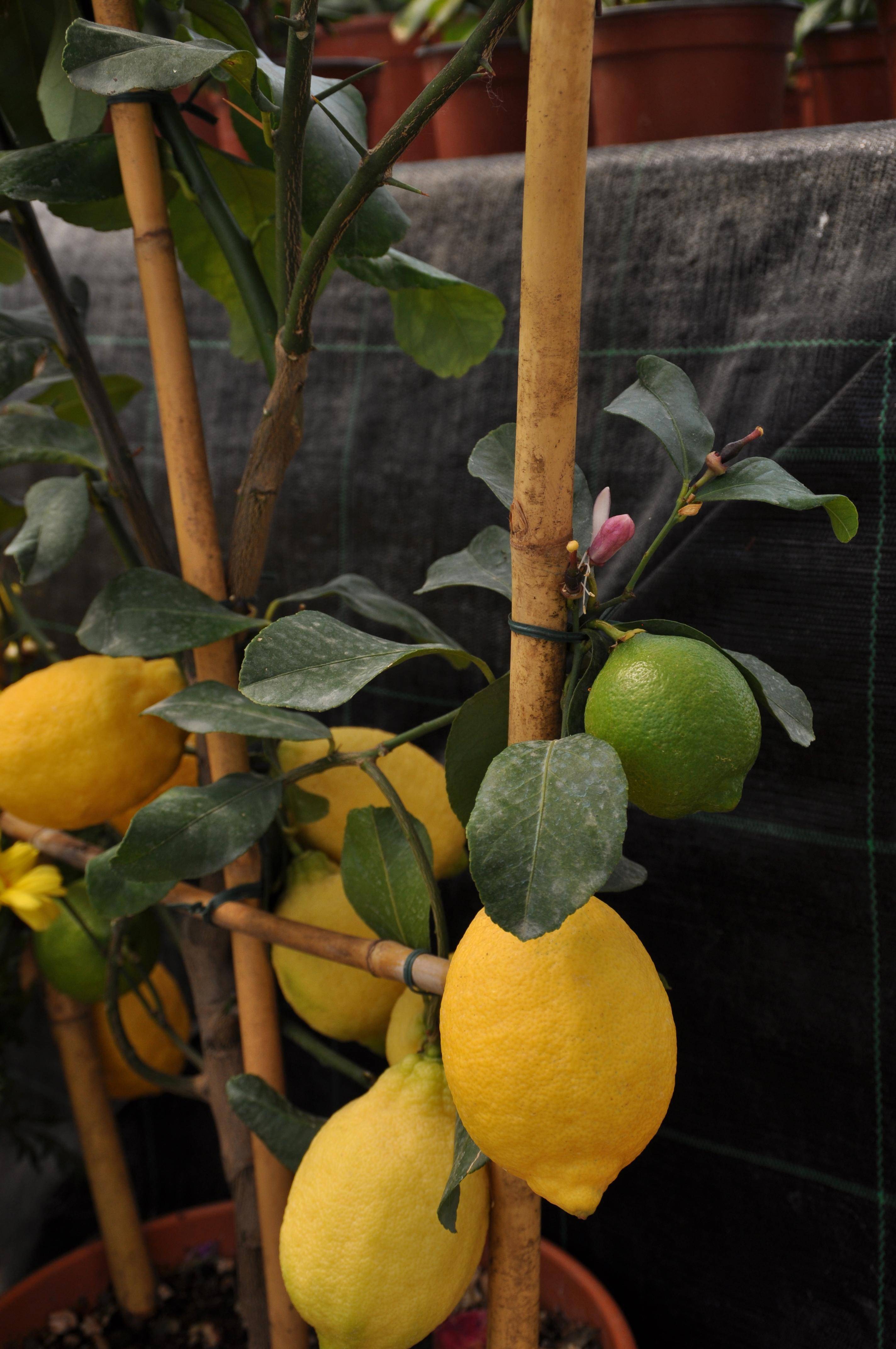 Tipi alberi da giardino for Arbusti fioriti da giardino